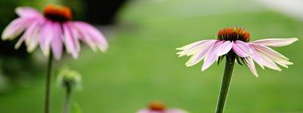 Echinacea Imagens de Stock