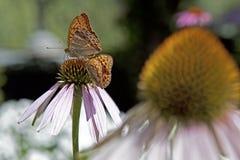 Echinacea στοκ φωτογραφία με δικαίωμα ελεύθερης χρήσης