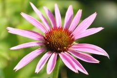 Echinacea Fotografia Stock Libera da Diritti