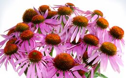 Echinacea Stock Photos