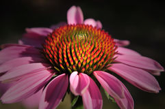 Echinacea Imagem de Stock Royalty Free