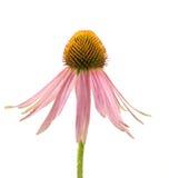 echinacea Royaltyfri Fotografi