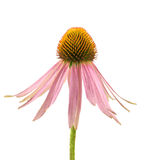 Echinacea. Flower isolated on white background royalty free stock photography