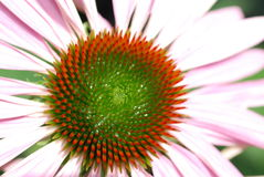 Echinacea. Pink Echinacea flower with orange and green spiny center - close-up Royalty Free Stock Photo