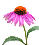 Echinacea. With leafs on white ground Stock Photography