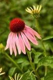 Echinacea Fotos de archivo libres de regalías