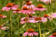 Echinacea. Flowerbed of coneflowers in summer Stock Photo