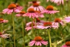 Echinacea Zdjęcie Stock