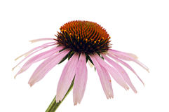 Echinacea Royalty Free Stock Photos