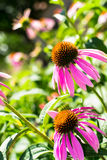 Echinacea Photo libre de droits