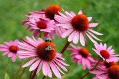 Echinacea Photographie stock