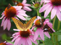 Echinacea. Any of several coneflower of the genus Echinacea, having usually pinkish-purple ray flowers