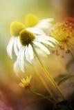Echinacea Fotografía de archivo libre de regalías