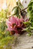 Echinacea photographie stock