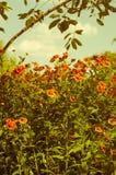 Echinacea Arkivfoton