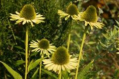 Echinacea Imagen de archivo libre de regalías