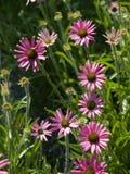 Echinacea Foto de archivo libre de regalías