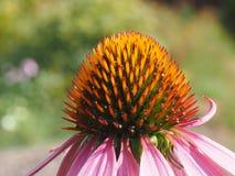Echinacea Fotografía de archivo