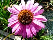 Echinacea Arkivfoto