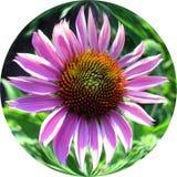 Echinacea Photographie stock libre de droits
