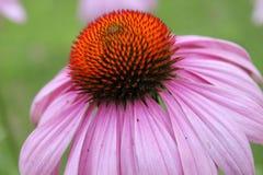 Echinacea Obraz Stock