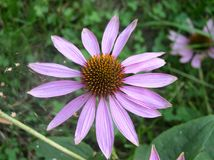 Echinacea. In bloom stock image
