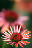 echinacea стоковое фото