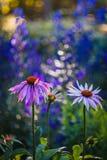 Echinacea Στοκ εικόνες με δικαίωμα ελεύθερης χρήσης