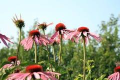 Echinacea fotografia royalty free