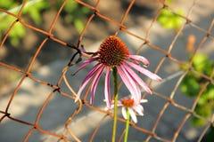 Echinacea Royalty-vrije Stock Afbeelding