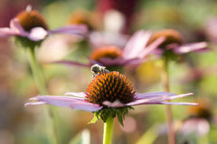 Echinacea Stock Photo