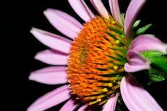 Echinacea Lizenzfreies Stockfoto