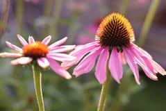 Echinacea Lizenzfreie Stockfotografie