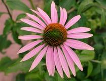 Echinacea Foto de Stock Royalty Free