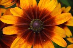 Echinacea Imagenes de archivo