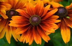 Echinacea Imagen de archivo