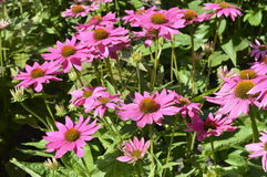 Echinacea Fotos de Stock
