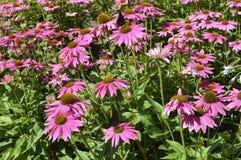 Echinacea Lizenzfreies Stockbild