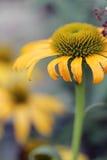 Echinacea - ahora más caseoso Imagen de archivo