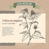 Echinacea aka purple coneflower sketch. Placed on original handmade paper background texture. Green apothecary series. Great for traditional or Ayurvedic Royalty Free Stock Image