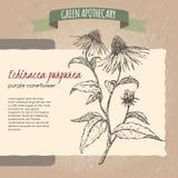 Echinacea aka purple coneflower sketch Royalty Free Stock Image
