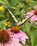 Echinacea amarillo de la mariposa una de Swallowtail fotografía de archivo
