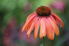 Echinacea anaranjado Imágenes de archivo libres de regalías