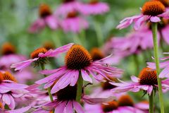 Purple coneflower, Echinacea purpurea, blossom, Bavaria, Germany, Europe. Echinacea is an ancient medicinal plant used by the North American Indians for colds royalty free stock photo