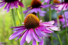 Purple coneflower, Echinacea purpurea, blossom, Bavaria, Germany, Europe. Echinacea is an ancient medicinal plant used by the North American Indians for colds royalty free stock images