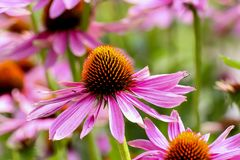 Purple coneflower, Echinacea purpurea, blossom, Bavaria, Germany, Europe. Echinacea is an ancient medicinal plant used by the North American Indians for colds stock photos