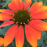 Echinacea arancio di Coneflower Fotografia Stock