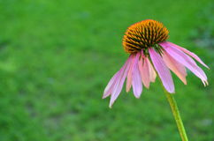 Echinacea Royalty Free Stock Photo