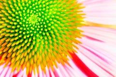 Echinacea au néon ou coneflower pourpré Image stock