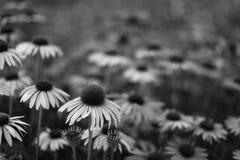 Echinacea B&W Fotografia Stock